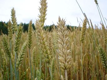 wheat and weeds
